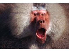 obrázek Opice-0221