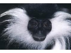 obrázek Opice-0222