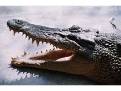 obrázek Krokodýl-0228