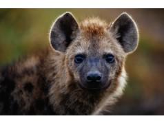 obrázek Hyena-0231