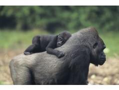 obrázek Opice-0242