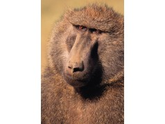 obrázek Opice-0259