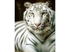 obrázek Tygr-0261