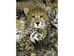 obrázek Gepard-0262