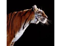 obrázek Tygr-0264