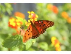 obrázek Motýl-0320