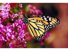 obrázek Motýl-0321