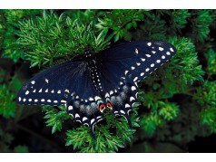 obrázek Motýl-0322