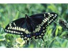 obrázek Motýl-0323