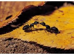 obrázek Mravenci-0342