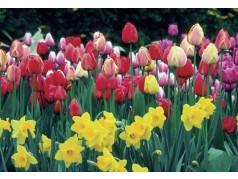 obrázek Tulipány-0394