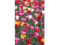 obrázek Tulipány-0421