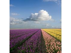 obrázek Tulipány-0469