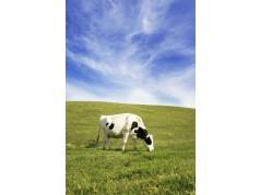 obrázek Kráva-0355