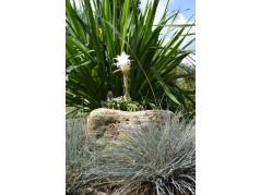 obrázek Kaktus-00016