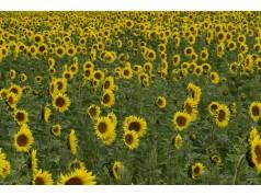 obrázek Slunečnice-00047