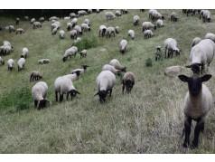 obrázek Ovce-000101