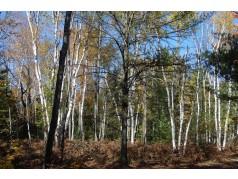 obrázek Březový les-0023-P