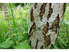 obrázek Březový les-0024-P