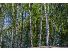 obrázek Březový les-0025-P