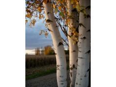 obrázek Březový les-0026-P