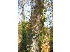 obrázek Březový les-0027-P