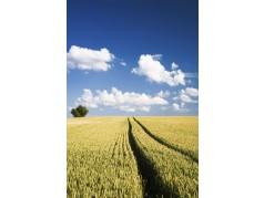 obrázek Pšeničné pole-011