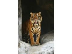 obrázek Tygr-017