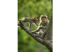 obrázek Opice-024