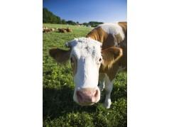 obrázek Kráva-032