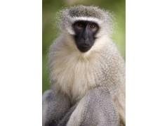 obrázek Opice-049