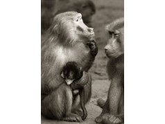 obrázek Opice-056