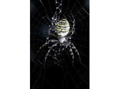 obrázek Pavouk-058