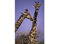 obrázek Žirafa-059