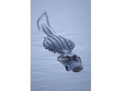 obrázek Krokodýl-074