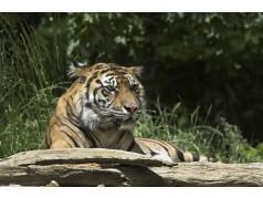 obrázek Tygr-093