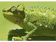 obrázek Chameleon-095