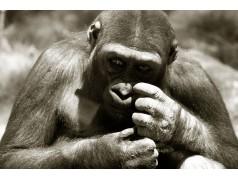 obrázek Opice-096