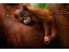 obrázek Orangutan-0150