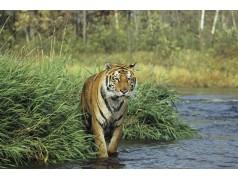 obrázek Tygr-0158