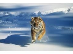 obrázek Tygr-0160