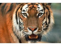 obrázek Tygr-0161