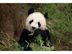 obrázek Panda-0174