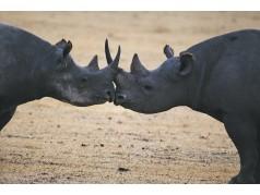 obrázek Nosorožci-0180