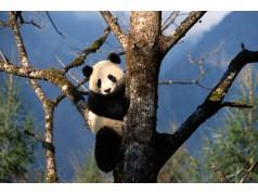 obrázek Panda-0185