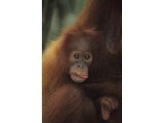 obrázek Orangután-0208