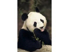 obrázek Panda-0209