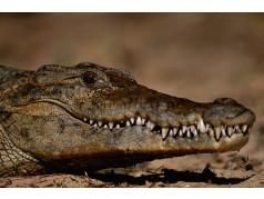 obrázek Krokodýl-0214