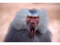 obrázek Opice-0220